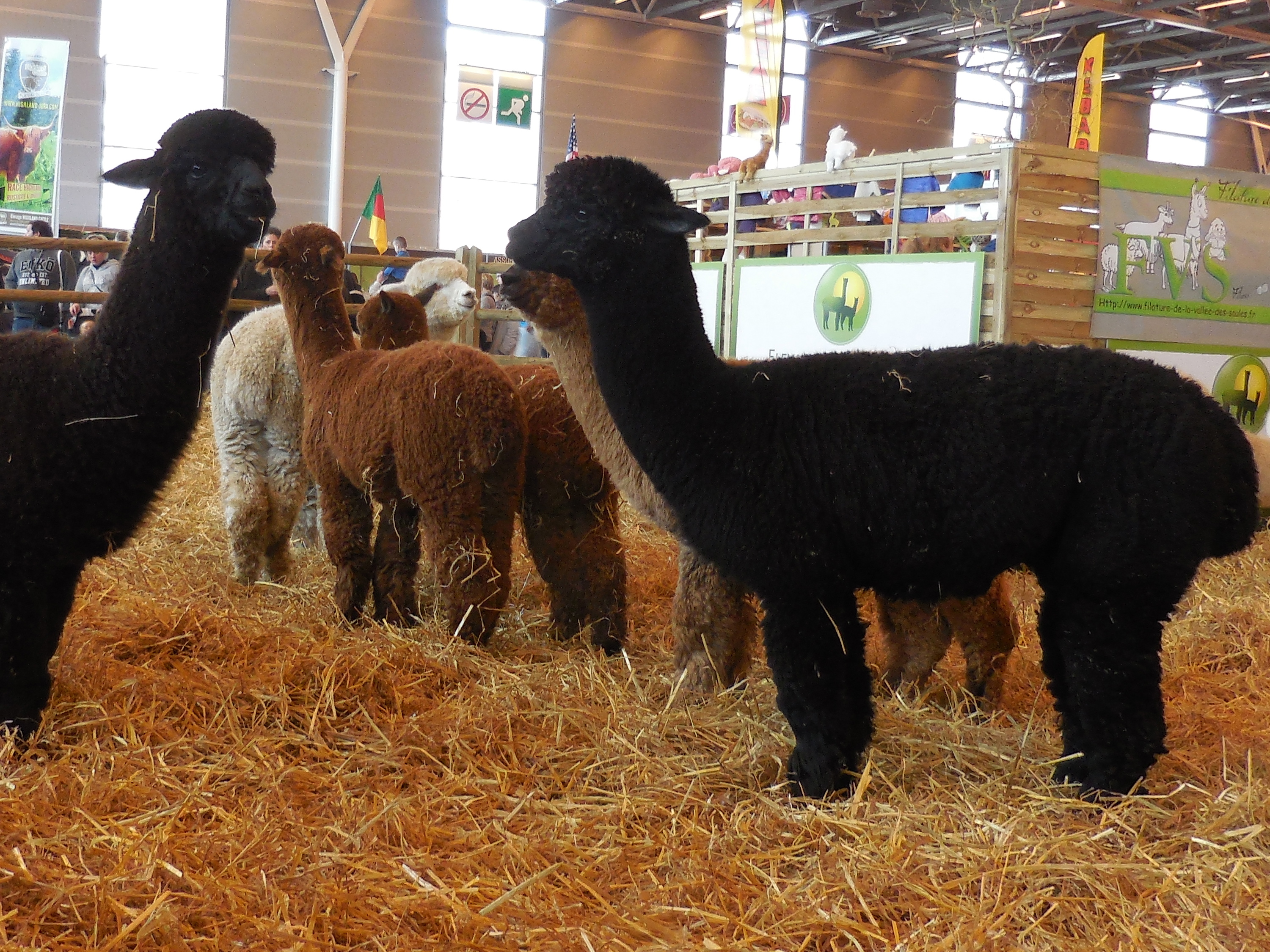 Alpacas are smaller, fluffier, and less aloof-appearing than the llamas who live with my sister Nancy. >> All the animals were groomed to a fare-thee-well.